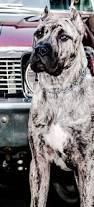 Cane Corso Italiano Shedding by Best 10 Cane Corso Ideas On Pinterest Black Mastiff Cane Corso