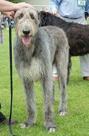 Irish Wolfhound Non Shedding by Dog Coat Colour Genetics