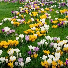 crocus flower bulbs garden plants flowers the home depot