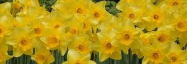 large cupped daffodil and narcissus bulbs for sale