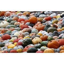 Atlantic Giant Pumpkin Taste by 100 Atlantic Giant Pumpkin Taste Gourds Squashes And