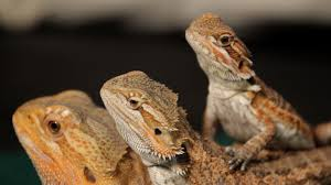 Bearded Dragon Heat Lamp Amazon by 8 Care Tips For Bearded Dragons Pet Reptiles Youtube