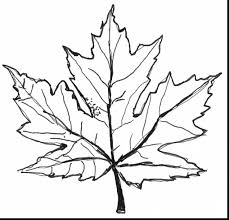 Impressive Maple Tree Leaves Drawings With Leaf Coloring Pages And Shapes