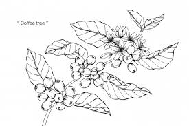 Coffee Tree Flower Drawing Illustration Premium Vector
