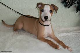 Do Italian Greyhounds Shed A Lot by Italian Greyhound Puppies Rescue Pictures Information