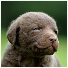 Chesapeake Bay Retriever Molting by Sweet Chesapeake Bay Retriever Puppy Chesapeake Bay Retriever Dog