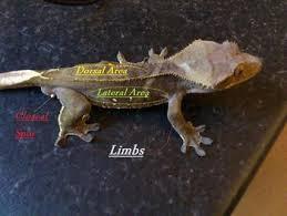 Crested Gecko Shedding Behavior by Crested Gecko Correlophlus Ciliatus Info Jps Geckos