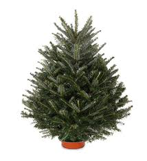 Frasier Christmas Tree Cutting by 10 Easy Pieces Tabletop Live Christmas Trees Gardenista