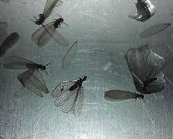 drain flies bugguide net
