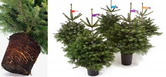 Nordmann Fir Christmas Trees Wholesale by Potgrown Christmas Trees