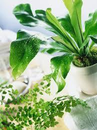 Best Plant For Bathroom by Choosing A Fern For The Bathroom Hgtv