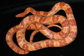 Corn Snake Shedding Too Often by Jurassic Parties An Experience You U0027ll Never Forget