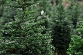 Christmas Tree Seedlings by Real Christmas Trees