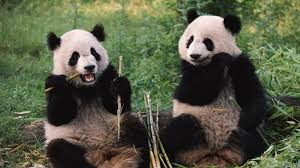 Bamboo Marvelous Bamboo Panda Fairbanks Kinds Pandas Panda