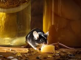 souris cuisine se débarrasser des souris sans les tuer nos conseils