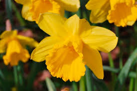 buy narcissus luck daffodil bulbs ashridge nurseries