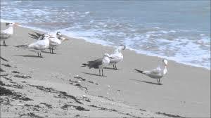 Bathtub Beach Stuart Fl Beach Cam by Birds On Beach Youtube