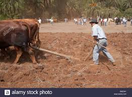 Threshing Floor Definition In Spanish by Working Bulls Stock Photos U0026 Working Bulls Stock Images Alamy