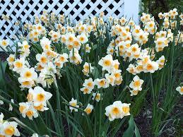 engelen wholesale flower bulbs home