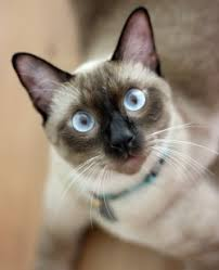 Siamese cat features of breed