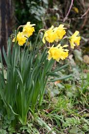 narcissus rijnveldt s early sensation avon bulbs