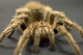 Do Tarantulas Molt Upside Down by How To Know If A Pet Tarantula Is Sick Animals Mom Me