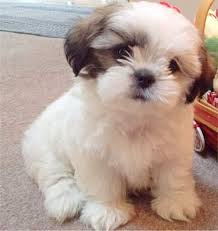 small young shih tzu adoptable cute top low shedding dog breeds