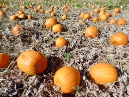 Types Of Pumpkins For Baking by She Who Bakes At Pyo Pumpkins She Who Bakes