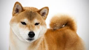do shiba inus shed hair shiba inu breed selector animal planet