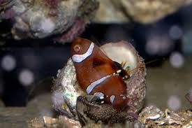 decorator crabs eat fish do not trust any crab dead fish pics may be disturbing to some
