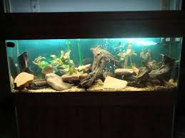 Spongebob Aquarium Decor Amazon by Pictus Catfish Habitat Aquarium Pinterest Catfish Aquariums