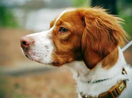 99 best brittany spaniel dogs images on pinterest brittany