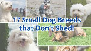 No Shed Small Dogs by Small Dog Breeds That Don U0027t Shed U2013 17 Dogs You U0027ll Adore