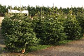 Christmas Trees Types Uk by Home Church Farm