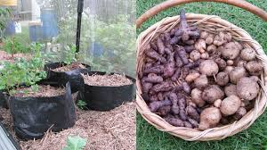Potato Harvest (of Sorts) Form The Backyard Farm, January 2015 ... Texas Garden The Fervent Gardener How Many Potatoes Per Plant Having A Good Harvest Dec 2017 To Grow Your Own Backyard 17 Best Images About Big Green Egg On Pinterest Pork Grilled Red Party Tuned Up Want Organic In Just 35 Vegan Mashed Potatoes Triple Mash Mashed Pumpkin Cinnamon Bacon Sweet Gardening Seminole Pumpkins And Sweet From My Backyard Potato Salad Recipe Taste Of Home