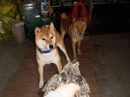 Do Shiba Dogs Shed by April 2011 Hokusei Kashinoki Shiba And Hokkaido Ken 北西樫ノ木