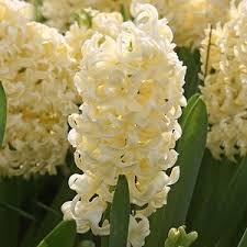 best 25 flower bulbs for sale ideas on bulbs for sale