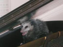 Opossum Removal And Opossum Control Professionals All About Opossums Wildlife Rescue And Rehabilitation Easy Ways To Get Rid Of Possums Wikihow Animals Articles Gardening Know How 4 Deter From Your Garden Possum Hashtag On Twitter Removal Living In Sydney Opossum Removal Services South Florida Nebraska Rehab Inc Help Nuisance Repel Gel Barrier Sealant For Squirrels And Raccoons To Of Terminix