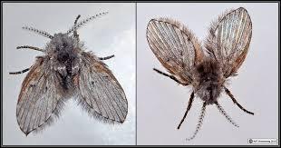 Little Flies In Bathroom Drain by Arthropods 11
