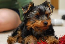 Non Shedding Dog Breeds Small by 22 Breeds Of Small Hypoallergenic Dogs U2013 Stat Scripts