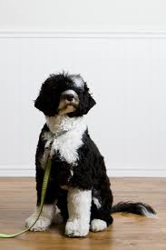 Hypoallergenic Shed Free Dogs by 20 Dogs That Don U0027t Shed Much Hypoallergenic Dog Breeds
