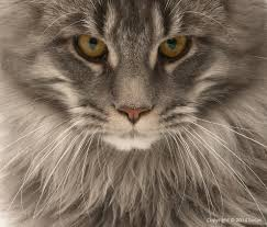 Do Maine Coons Shed Their Mane by Breed Profile Maine Coon Lucas And Cats