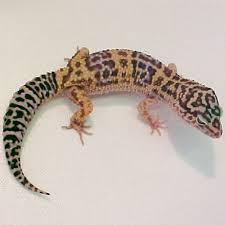 Do Leopard Geckos Shed by Leopard Geckos Males 49 99