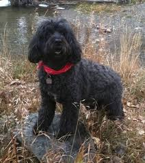 Portuguese Water Dog Shedding Problems by Portuguese Water Dog Breed Information And Pictures