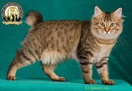 bobtail cat breed profile the american bobtail
