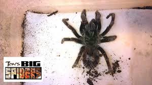 Do Tarantulas Shed Their Fangs by Tarantula Impaction E Parvulus Youtube