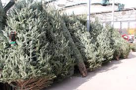 Leyland Cypress Christmas Tree Farm by Caes Newswire Christmas Tree Care
