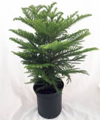 Christmas Tree Seedlings by Alive Baby Pine Tree U003e U003e Norfolk Island Pine The Indoor