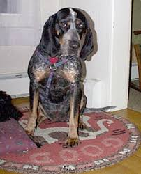 Do Bluetick Coonhounds Shed by Southeast Bloodhound Rescue