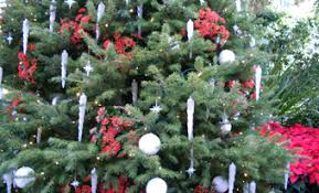 Silvertip Fir Christmas Tree by Christmas Trees And Decorating With Evergreens U2014 Bobscaping